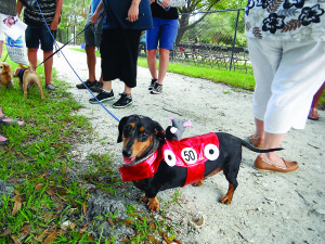 Staff photo by Mary Kemper Roscoe, a 6-year-old Dachshund owned by Beth Martin, Vero Beach, came to the Oct. 24 annual Howl-O-Ween Pawrade held at Dogs For Life, Vero Beach.